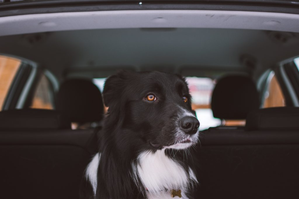 Keep Your Dog Safe and Properly Secured in Your Car | McLeish Orlando Personal Injury Lawyers